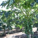 露地で育つ青パパイヤは、苗と土作りが決め手!(株)やぎぬま農園