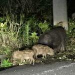 豚熱(CSF)とイノシシ 〜森の感染症対策〜